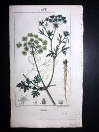 Turpin C1815 Antique Botanical Print. Persil. Parsley 268